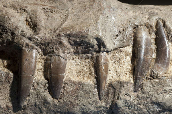 Fossilized teeth of Pliosaurus, Stock photo © AlessandroZocc