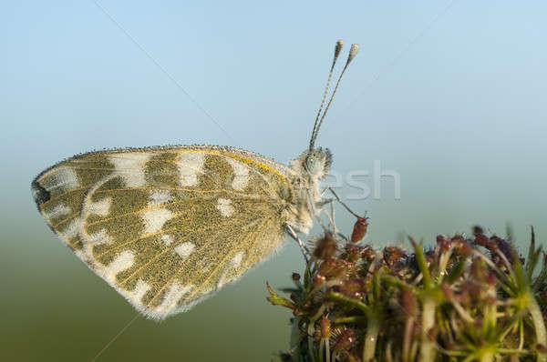 Schmetterling bedeckt dew Tropfen Stock foto © AlessandroZocc