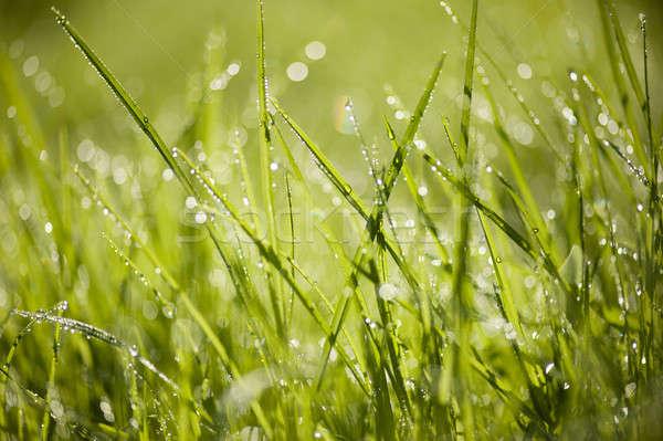 Yeşil ot çiy damla güneş ışık Stok fotoğraf © AlessandroZocc
