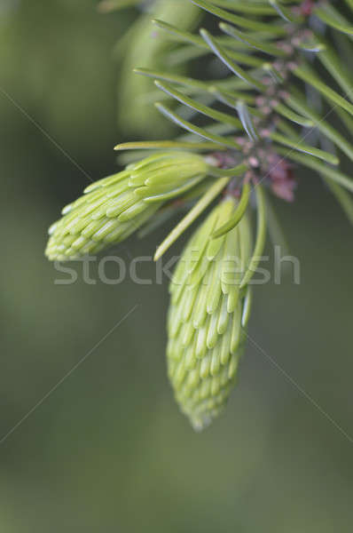 Green young buds of coniferous tree with needle leaves Stock photo © AlessandroZocc