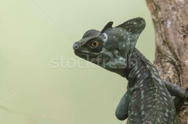 Basiliscus lizard Stock photo © AlessandroZocc