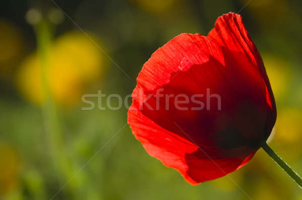 Rouge pavot fleur soleil rétroéclairage Photo stock © AlessandroZocc
