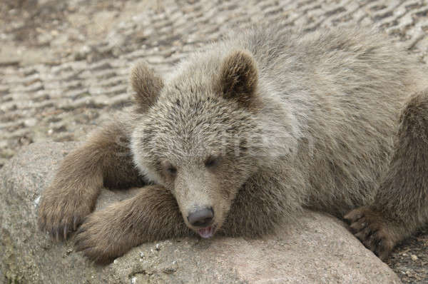 Cub of brown bear  Stock photo © AlessandroZocc