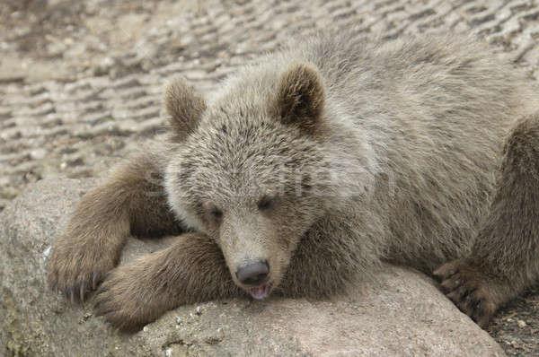 カブ ヒグマ リラックス 石 睡眠 ストックフォト © AlessandroZocc
