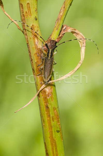 Common longhorn beetle Stock photo © AlessandroZocc