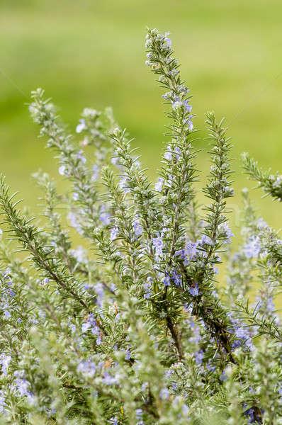 Plants of Rosemary Stock photo © AlessandroZocc