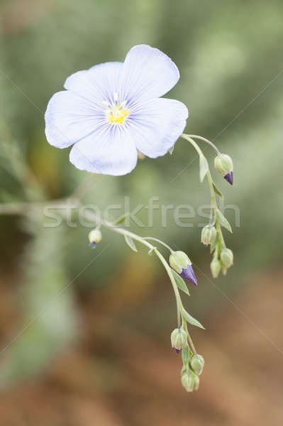 flower and buds of flax plant Stock photo © AlessandroZocc
