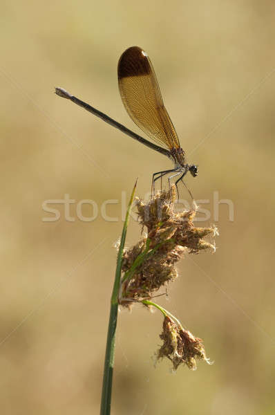 Female of the damselfly Calopteryx haemorrhoidalis Stock photo © AlessandroZocc
