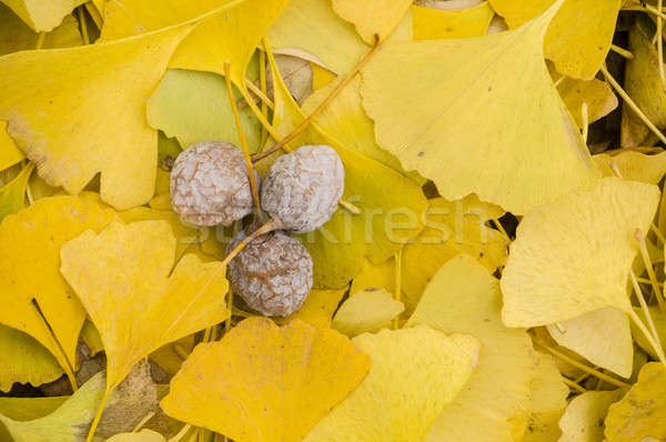 Yellow leaves of Gingko biloba with fruits Stock photo © AlessandroZocc