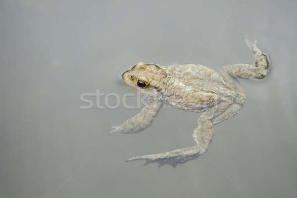 Toad in water Stock photo © AlessandroZocc