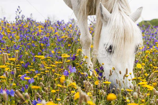 Fehér ló mező virágok virág természet ló Stock fotó © AlessandroZocc