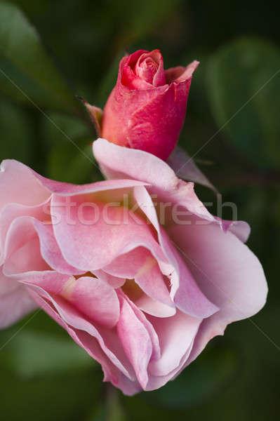 красную розу цветок бутон закрывается фон зеленый Сток-фото © AlessandroZocc