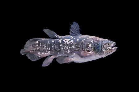 Living fossil fish, Coelacanth. Stock photo © AlessandroZocc