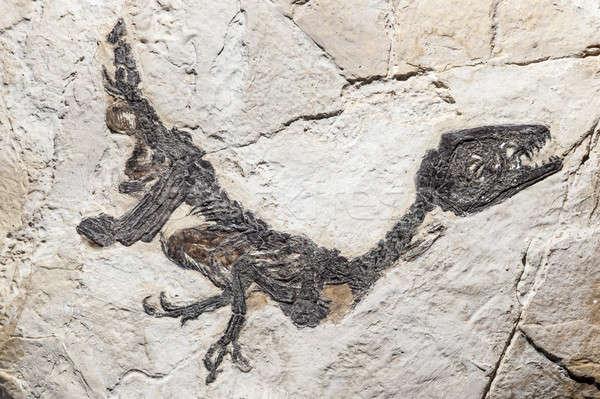 Reconstrução fóssil dinossauro cedo concha Foto stock © AlessandroZocc