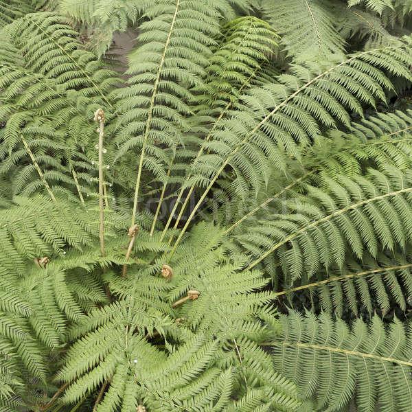 tree ferns Stock photo © AlessandroZocc
