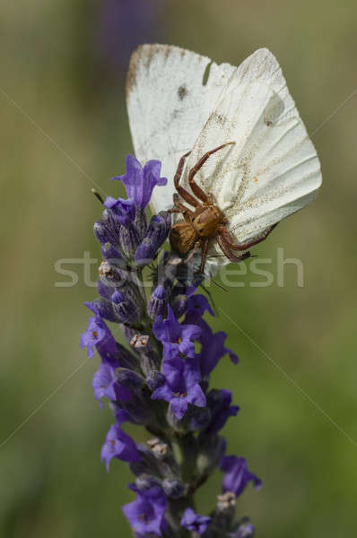 Stock photo: Crab spider on flower