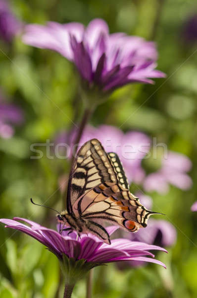 Swallowtail butterfly in a purple daisy field Stock photo © AlessandroZocc