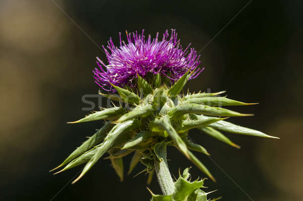 flower of the cardus marianus thistle Stock photo © AlessandroZocc