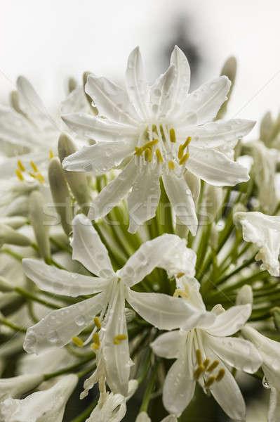 白 花 フル 咲く 花 ストックフォト © AlessandroZocc