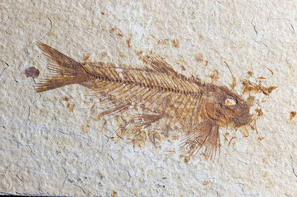Close up Fossil fish  Stock photo © AlessandroZocc