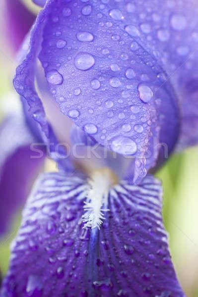 Vízcseppek szirmok írisz virág kék tavasz Stock fotó © AlessandroZocc