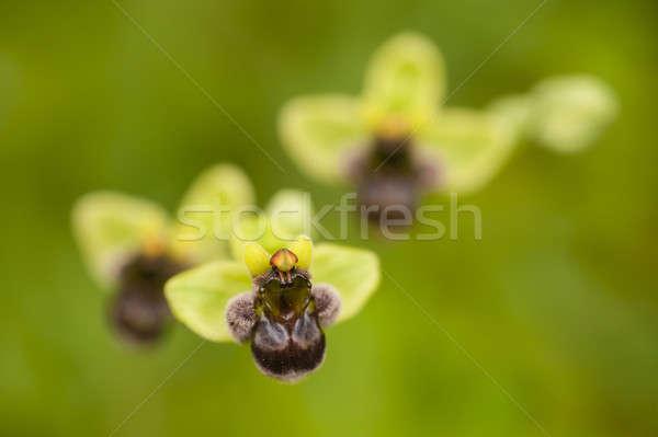 地中海 蘭 花 ヨーロッパ 昆虫 桜 ストックフォト © AlessandroZocc