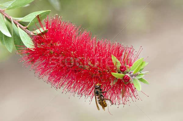 ワスプ 赤 熱帯の花 花 ストックフォト © AlessandroZocc