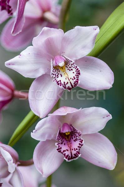 Orchidea kwiat dekoracyjny tropikalnych kwiaty wiosną Zdjęcia stock © AlessandroZocc