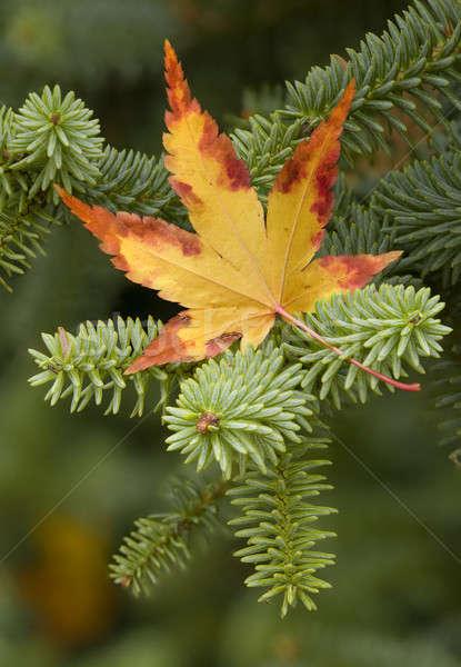 Maple Leaf желтый зеленый листьев осень Сток-фото © AlessandroZocc