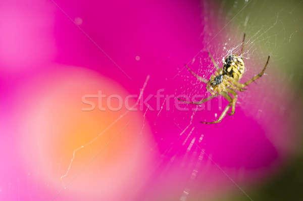 örümcek çiçekler siyah sarı pembe sarı çiçek Stok fotoğraf © AlessandroZocc