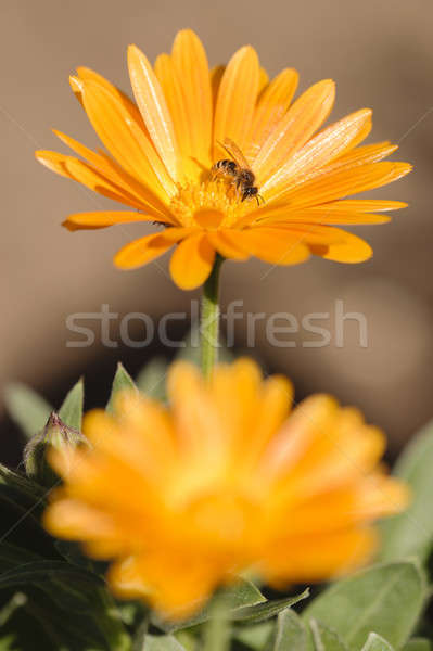 Honey bee collecting nectar and pollen Stock photo © AlessandroZocc