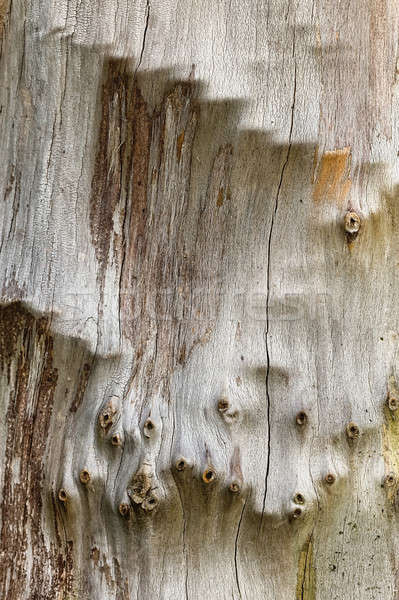 Plane tree bark close up Stock photo © AlessandroZocc