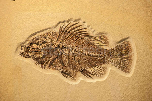 Complete fish fossil  Stock photo © AlessandroZocc