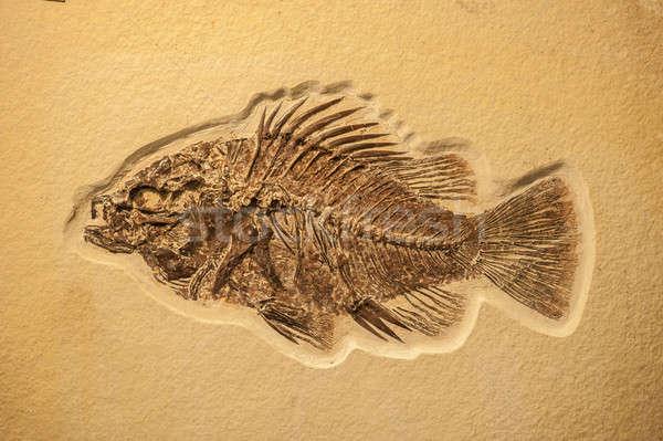 Balık fosil kireç taş Stok fotoğraf © AlessandroZocc