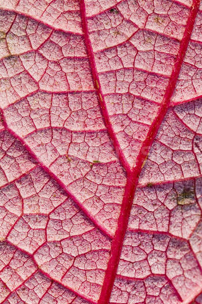 Detail of veins on hte underside of a red leaf in autumn Stock photo © AlessandroZocc