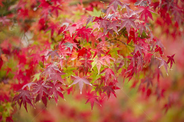 Maple tree close up in Fall Stock photo © AlessandroZocc