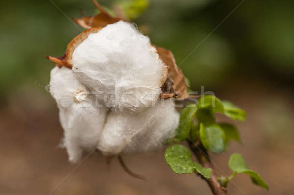 Cotton exposed in the flower bud of the plant Stock photo © AlessandroZocc