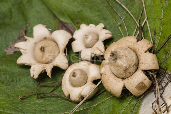Champignon Open witte champignons patroon vallen Stockfoto © AlessandroZocc