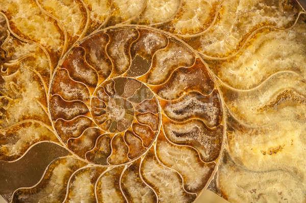 Kagyló kövület nyomtatott Stock fotó © AlessandroZocc