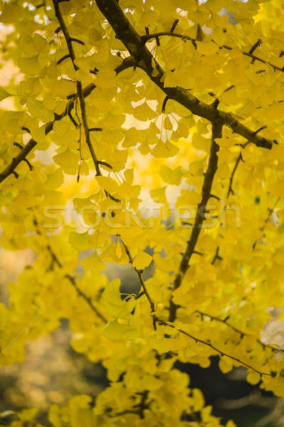 Yellow autumnal leaves Stock photo © AlessandroZocc
