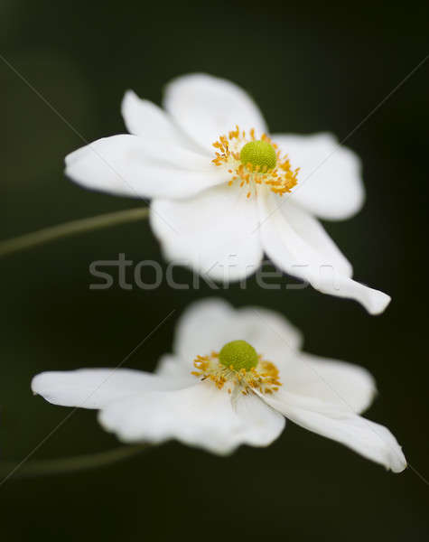 Ornamental white flowers  Stock photo © AlessandroZocc