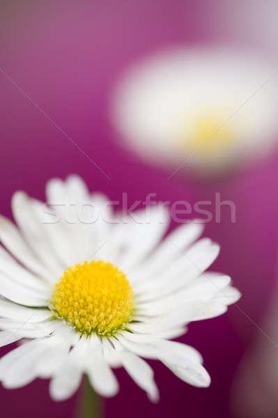 Colorido margarida completo florescer primavera grama Foto stock © AlessandroZocc