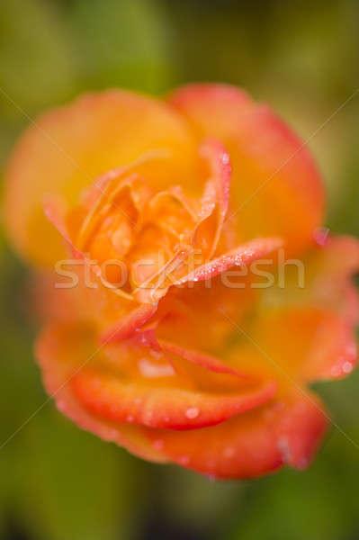 Geel oranje steeg bloem detail Stockfoto © AlessandroZocc