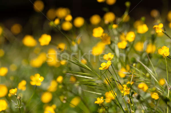 meadow buttercup flowers in full bloom Stock photo © AlessandroZocc