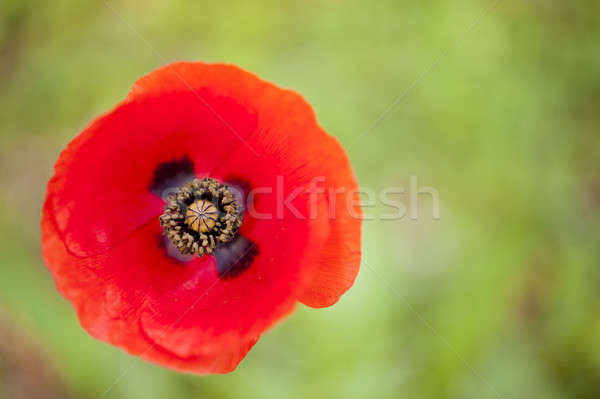 Red poppy flower bud Stock photo © AlessandroZocc