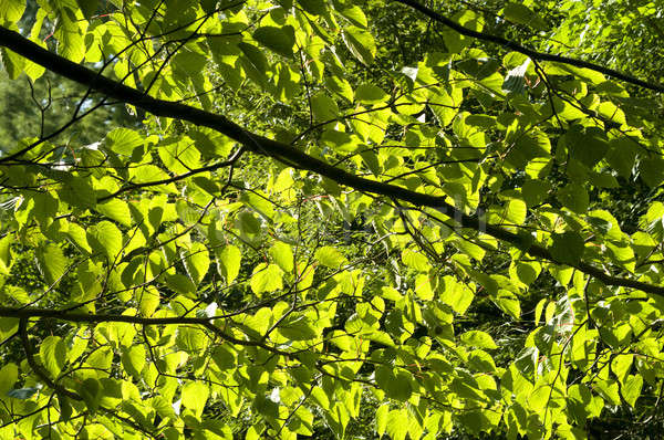 Sun through the Leaves Stock photo © AlessandroZocc