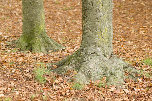 Tree trunk bases with fallen leaves in Fall Stock photo © AlessandroZocc