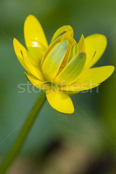 Arany gomb virág citromsárga zöld szirmok Stock fotó © AlessandroZocc