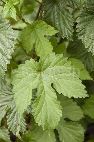 green leaves of common hop climbing plant Stock photo © AlessandroZocc