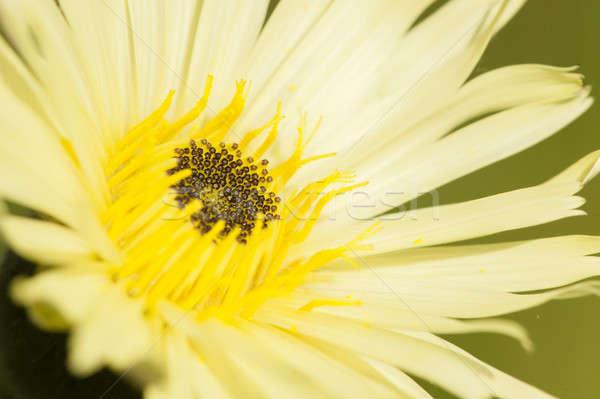 Közelkép pitypang sárga virág virág növény citromsárga Stock fotó © AlessandroZocc